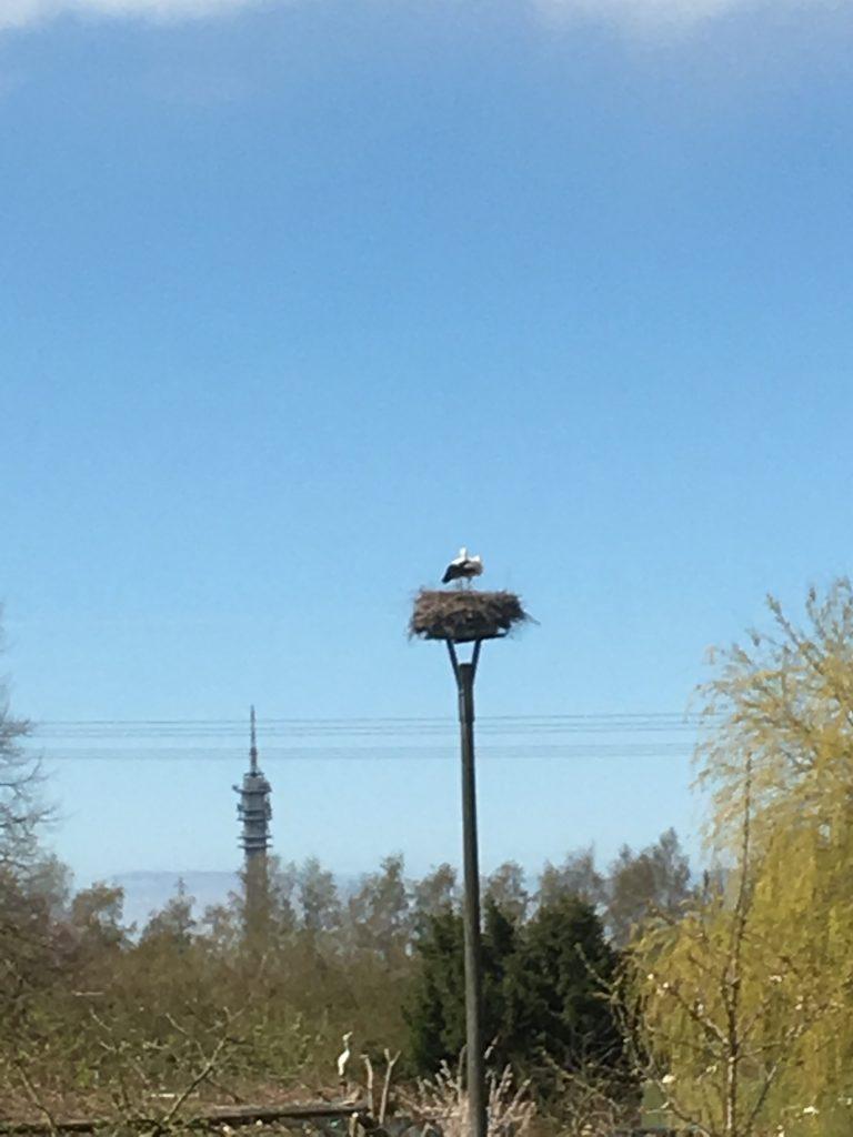 Der Storchenhorst in Rostock Biestow, mit Storchenpaar.